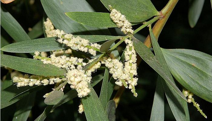 Acacia longifolia (invasora)
