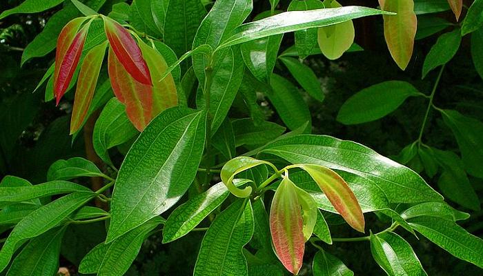 Cinnamomum verum (invasora)