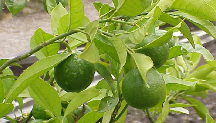 Citrus × aurantium (antiga Citrus sinensis) (invasora)