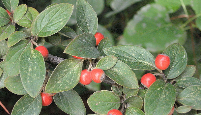Cotoneaster franchetii (invasora)