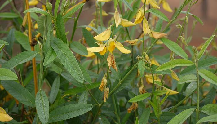 Crotalaria juncea (invasora)