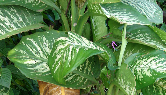 Dieffenbachia seguine (antiga Dieffenbachia picta) (invasora)