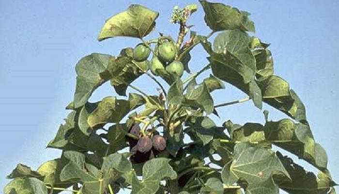 Jatropha curcas (invasora)