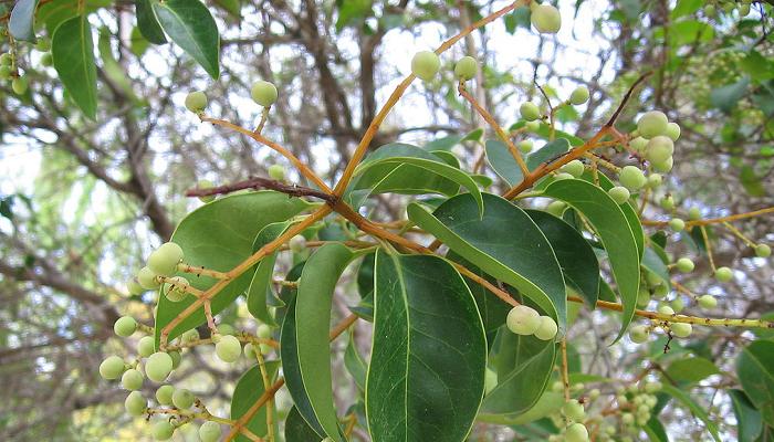 Ligustrum japonicum (invasora)