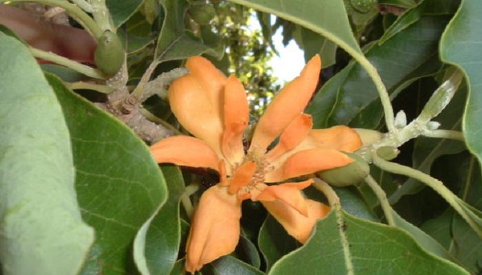 Magnolia champaca (invasora)