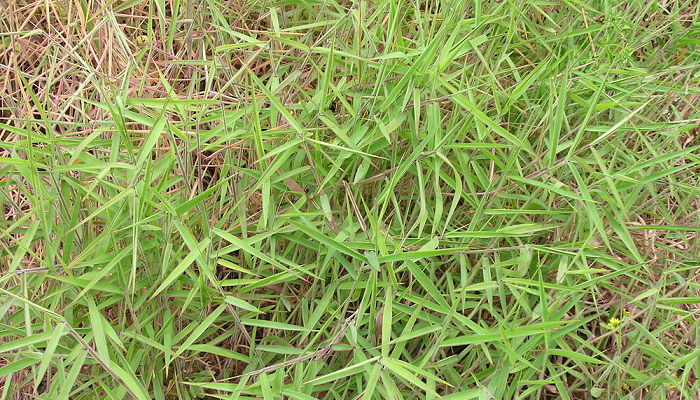 Melinis minutiflora (invasora)