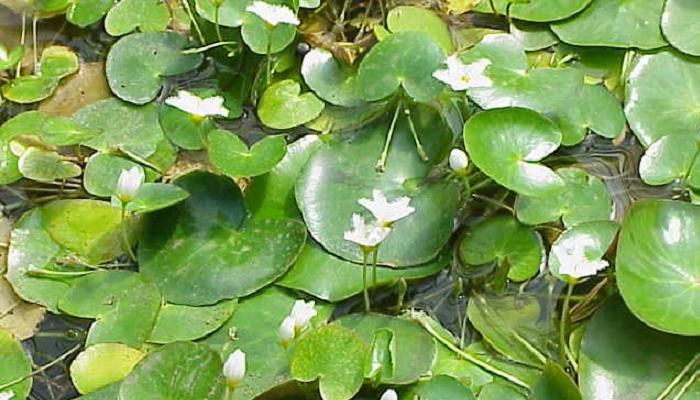 Nymphoides indica (invasora)