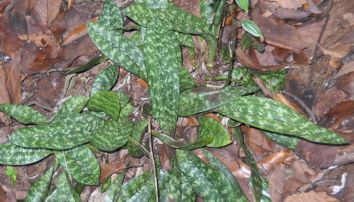 Oeceoclades maculata (invasora)