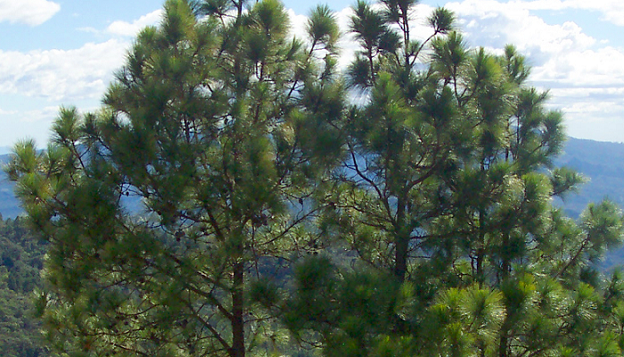 Pinus oocarpa (invasora)