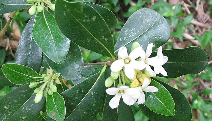 Pittosporum undulatum (invasora)