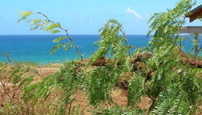 Prosopis juliflora (invasora)