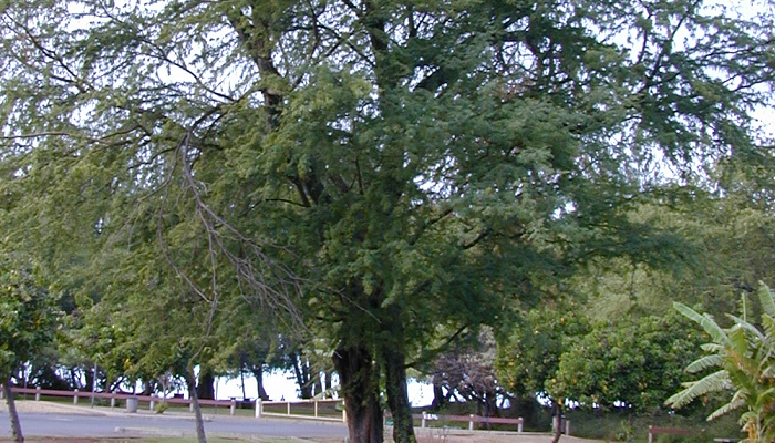 Prosopis pallida (invasora)