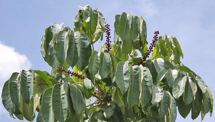 Schefflera actinophylla (invasora)