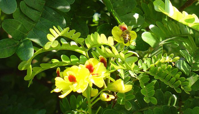 Paubrasilia echinata (antiga Caesalpinia echinata)