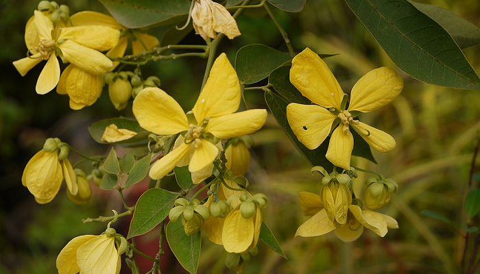 Senna macranthera (invasora)