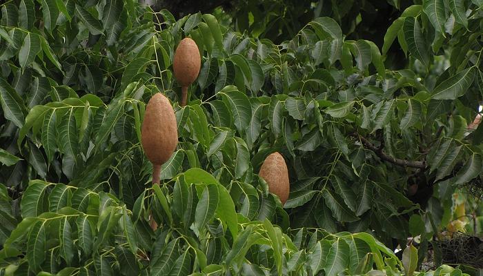 Swietenia macrophylla (invasora)