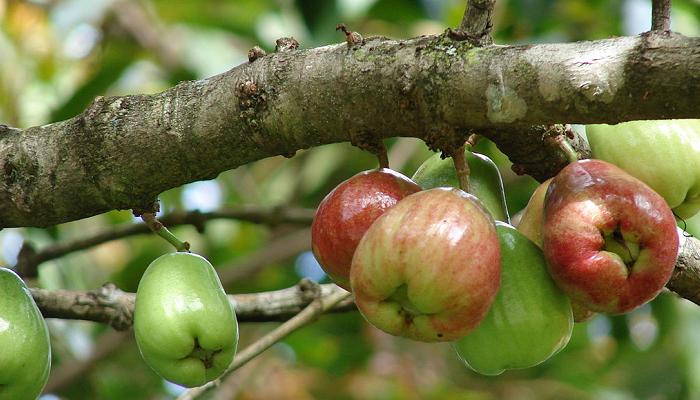 Syzygium malaccense (invasora)