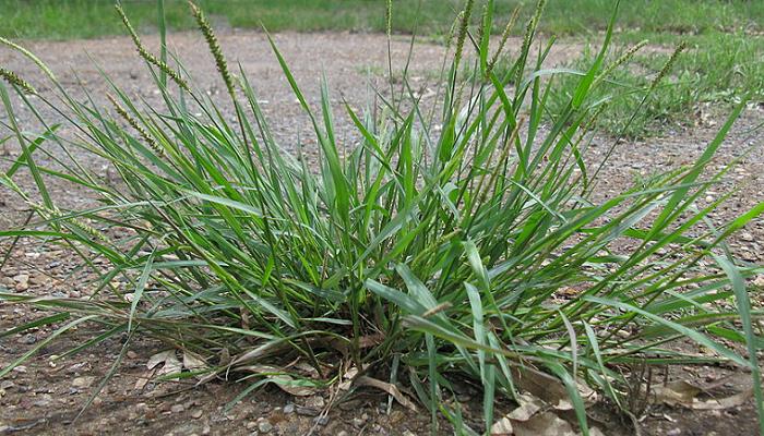 Setaria parviflora (invasora)