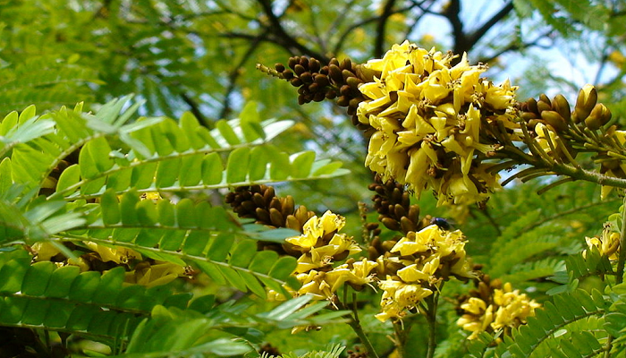 Cenostigma pluviosum var. peltophoroides