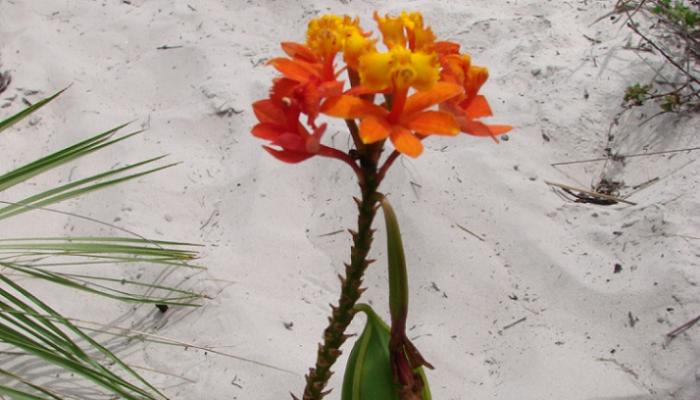 Epidendrum fulgens