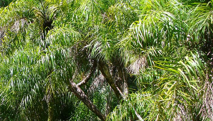 Syagrus flexuosa
