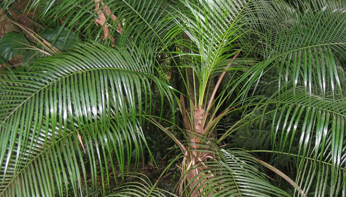 Syagrus weddelliana (antiga Lytocaryum weddellianum)