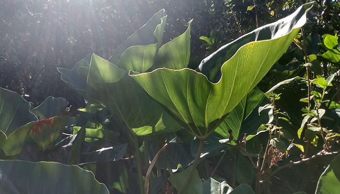 Thaumatophyllum uliginosum (antiga Philodendron uliginosum)