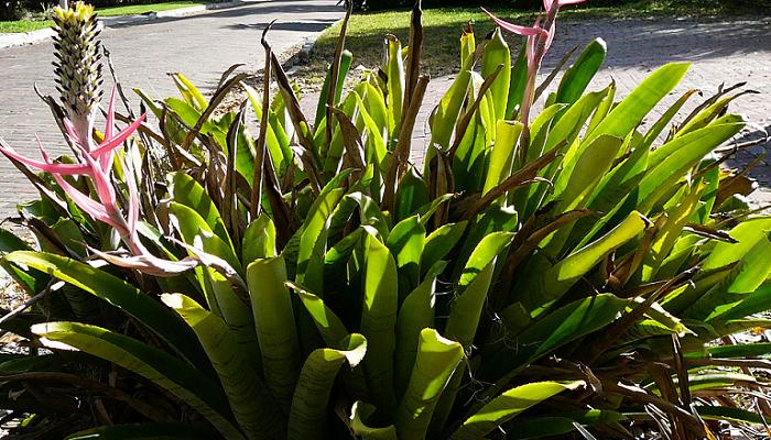 Aechmea bromeliifolia